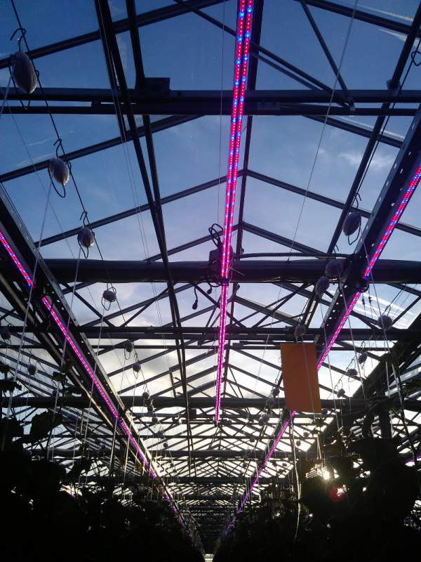 Led Grow Lights The Right Led Greenhouse Lighting